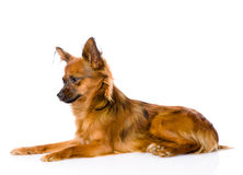 Russian toy terrier lying in profile. isolated on white Royalty Free Stock Photos