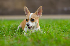 Russian Toy Terrier pale orange color Royalty Free Stock Photos