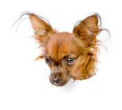 Russian toy terrier in paper side torn hole. isolated on white Royalty Free Stock Images