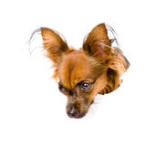 Russian toy terrier in paper side torn hole looking down. isolated Royalty Free Stock Photo