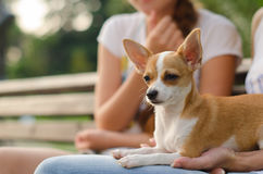 Russian Toy Terrier in the park pale orange color Stock Image