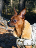 Russian toy terrier portrait in coat. Brown smooth coated russian toy terrier dressed in coat Royalty Free Stock Photos