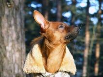 Russian toy terrier portrait in coat. Brown smooth coated russian toy terrier dressed in coat Stock Images