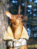 Russian toy terrier portrait in coat. Brown smooth coated russian toy terrier dressed in coat Royalty Free Stock Images