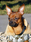 Russian toy terrier portrait in coat. Brown smooth coated russian toy terrier dressed in coat Royalty Free Stock Photography