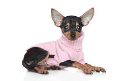 Russian Toy Terrier puppy Stock Photo