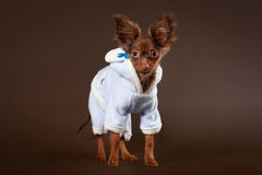 Russian toy terrier puppy. On dark brown background Stock Image