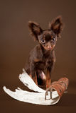 Russian toy terrier puppy. On dark brown background Royalty Free Stock Photography