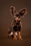 Russian toy terrier puppy. On dark brown background Stock Photos