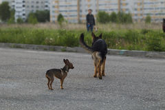 Russian toy terrier and a puppy Alsatian dog Stock Images