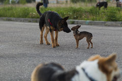 Russian toy terrier and a puppy Alsatian dog Stock Photos