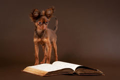 Russian toy terrier puppy with book. Russian toy terrier puppy on dark brown background Royalty Free Stock Photo
