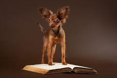 Russian toy terrier puppy with book. Russian toy terrier puppy on dark brown background Royalty Free Stock Images