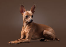 Russian toy terrier puppy on dark brown background Royalty Free Stock Images