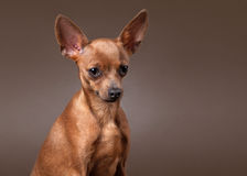 Russian toy terrier puppy on dark brown background Royalty Free Stock Photos