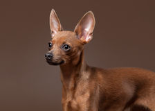 Russian toy terrier puppy on dark brown background Stock Images