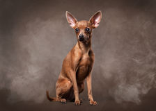 Russian toy terrier puppy in fog on dark brown background Royalty Free Stock Images