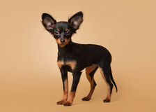 Russian toy terrier puppy Royalty Free Stock Image