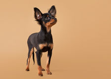 Russian toy terrier puppy Stock Images