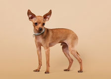 Russian toy terrier puppy on light brown background Stock Photography