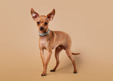 Russian toy terrier puppy on light brown background Royalty Free Stock Image
