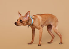 Russian toy terrier puppy on light brown background Royalty Free Stock Photos