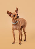 Russian toy terrier puppy on light brown background Royalty Free Stock Photo