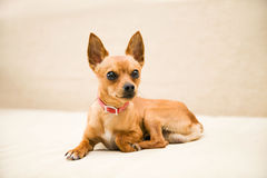 Russian toy terrier puppy Stock Photography