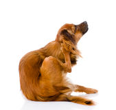Russian toy terrier scratching. isolated on white background Stock Photos