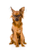 Russian toy terrier sitting in front. isolated on white stock photography