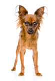 Russian toy terrier standing in front. isolated on white background royalty free stock images