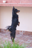 Russian toy terrier standing on hind legs Stock Photography