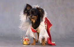 Russian toy terrier in tsar's sutt Royalty Free Stock Photo
