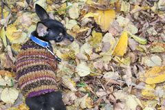 Russian toy Terrier walks through the autumn leaves. Russian toy Terrier loves to walk.He runs through the yellow listas joy.Autumn`s cold and so the dog warm stock photo
