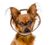 Russian toy terrier wearing a funnel collar. isolated Royalty Free Stock Photos