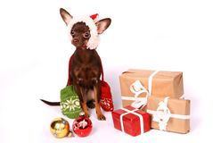 Russian toy terrier on white Stock Photography