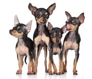 Russian Toy-terriers dogs group Stock Images