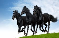 Russian troika. Three black horses gallops in field Stock Photo