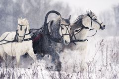 Russian troika horses running on a snowy field stock images