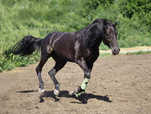 Russian trotter. The stallion frolics on morning walk Stock Images