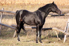Russian trotter breed. Stallion producer,beautiful horse, adult stallion, handsome Stock Images