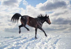 Russian trotter rejoices snow. Russian trotter enjoys snow and frost Stock Image