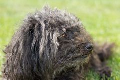 Russian Tsvetnaya Bolonka close-up portrait from side view. Bolognese dog.  royalty free stock image