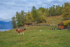Russian village in the Altai Mountains Stock Photography