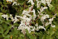 Russian vine Fallopia baldschuanica. Flowers of Russian vine Fallopia baldschuanica Royalty Free Stock Image