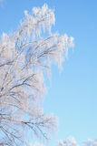 Russian winter. White frosty birch tree; beautiful Russian winter Royalty Free Stock Image