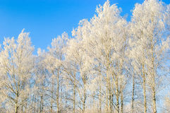 Russian Winter. Birch covered with rime. Cold royalty free stock images