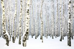 Russian winter - Birch Grove Royalty Free Stock Images