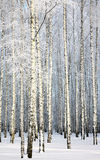 Russian winter - Birch Grove on blue sky background Stock Photos