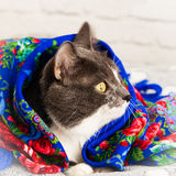 Russian winter cat. Royalty Free Stock Photo